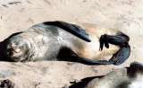 Seebär / fur seal