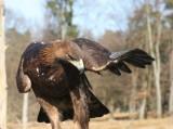 Attila, der Steinadler / Attila, the golden eagle