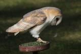 Schleiereule / barn owl