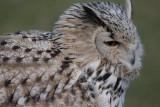 Sibirischer Uhu / Eurasian eagle owl