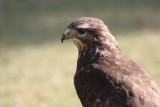 Bussard / buzzard