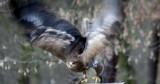 Steppenadler / steppe eagle
