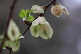 Ulmenblüten / elm flowers