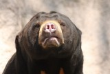 Malaienbär / sun bear