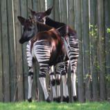 stripy backsides - Okapis