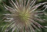 Küchenschelle  / pasque flower