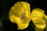 Kalifornischer oder Goldmohn / Californian or gold poppy