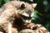Waschbär / racoon