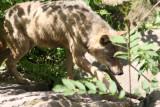 Grauwolf / grey wolf
