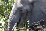 Elefantenbulle / bull elephant