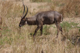 Gemeiner Wasserbock / common waterbuck