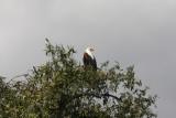 Schreiseeadler / African fish eagle