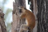 Grüne Meerkatze / vervet monkey