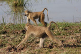 yellow baboons / Steppenpaviane