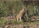 yellow baboon / Steppenpavian - drinking