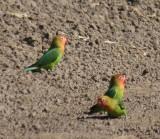 Lilian's lovebirds / Erdbeerköpfchen