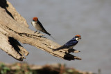 wire-tailed swallows / Rotkappenschwalben