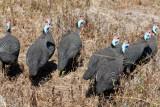 helmeted guineafowl / Helmperlhühner