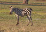 Crawshay's zebra shaking itself