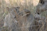 well camouflaged - lions in the grass