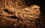 Mozambique nightjar / Welwitsch-Nachtschwalbe