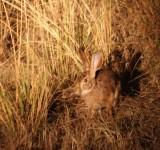 scrub hare / Buschhase