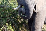 an elephant's Swiss army knife - the trunk