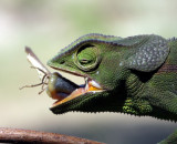 flap-necked chamaeleon / Lappenchamäleon
