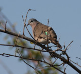 emerald-spotted wood dove / Bronzeflecktaube
