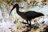 hadeda ibis / Hagedasch