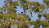 white-fronted bee-eater / Weißstirnspint