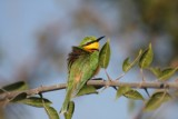 little bee-eater / Zwergspint
