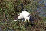 sacred ibis with chick / Heiliger Ibis mit Jungvogel