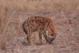 Hyena / Hyäne