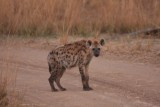 young Hyena / junge Hyäne