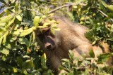 yellow baboon / Steppenpavian