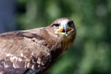 Ronja, Steppenadler-Weibchen / Ronja, female steppe-eagle