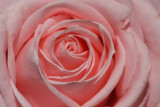 Rosen / Roses