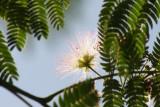 Seidenakazie oder Schlafbaum / silk tree