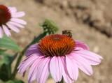 roter Sonnenhut / purple cone flower