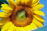 Ah! Sunflower...