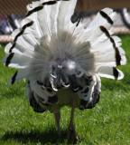 Truthahn / male turkey
