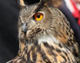 Europäischer Uhu / European eagle owl