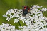 Zottiger Bienenkäfer / checkered beetle