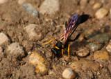 Lehmwespe / potter wasp