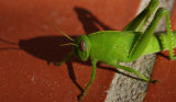 Grünes Heupferd / green grasshopper