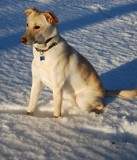 Yellow Dog In Snow