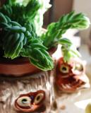Burro Tail Cactus