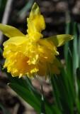 Frilly Daffodil