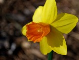 Orange Eye Narcissus